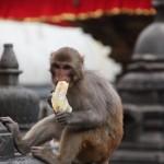 Mono con platano