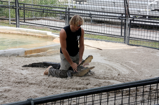 Espectáculo alligator